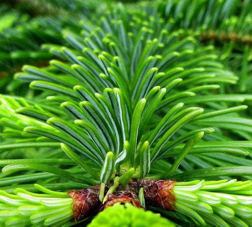 fir-tree-4253429_1280_tanne